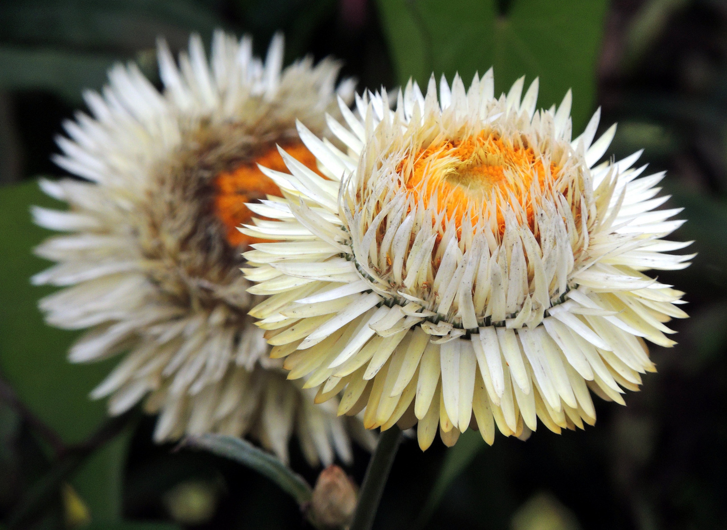 wei gelbes duftendes stroh strohblume foto bild pflanzen pilze flechten bl ten. Black Bedroom Furniture Sets. Home Design Ideas