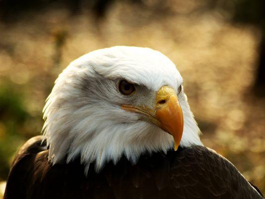 Weiß Kopf See Adler