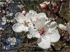 Weiß mit rosa