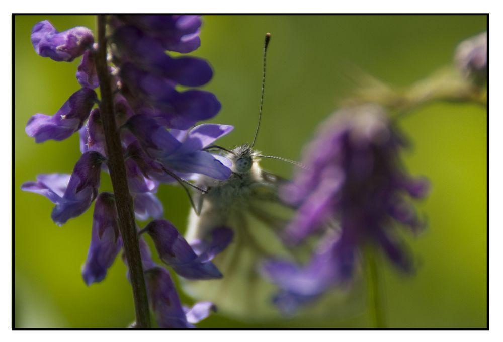 weiss will violett von Linea Nera