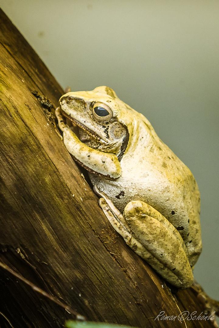 Weissbart-Ruderfrosch
