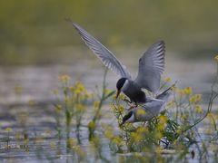 Weissbartseeschwalbe / Whiskered tern