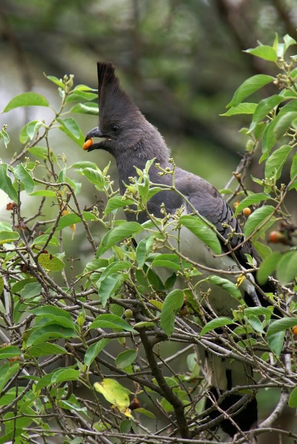 Weißbauch-Lärmvogel (Corythaixoides leucogaster), Äthiopien 2006