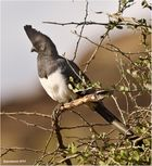 Weißbauch-Lärmvogel (Corythaixoides leucogaster)....