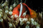 Weißbinden-Glühkohlen-Anemonenfisch