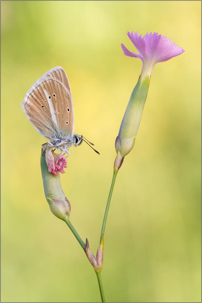 Weißdolch-Bläuling (Polyommatus damon)