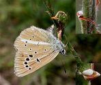 Weißdolch-Bläuling (Weibchen)