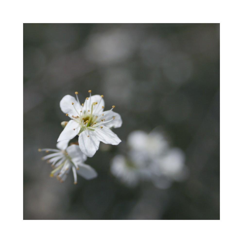 Weissdornblüten