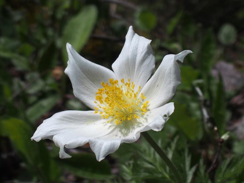 Weisse Alpen-Anemone 'Pulsatilla alpina'