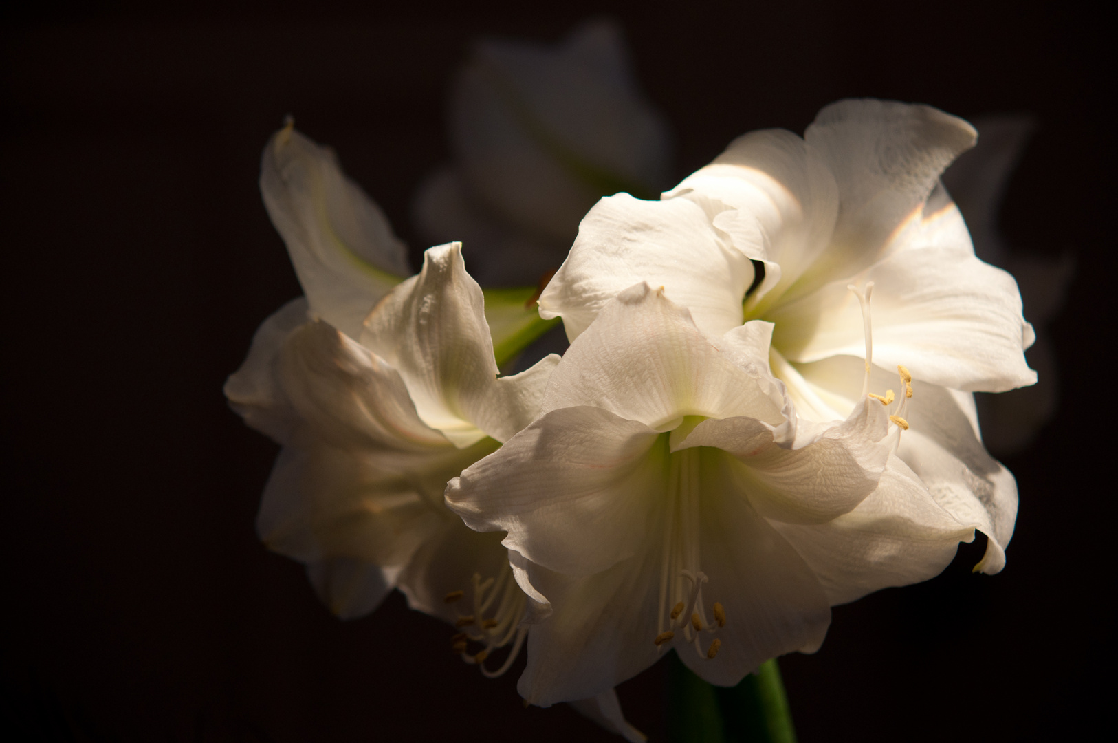 Weiße Amaryllis
