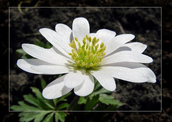 Weisse Anemone