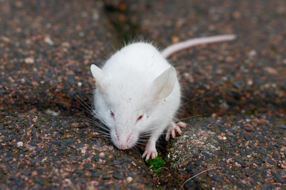 Weiße Baby Maus