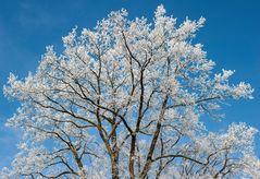 Weiße Baumkrone