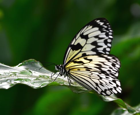 #...Weiße Baumnymphe/ Idea leuconoe).......