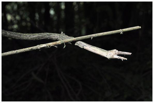 Weiße Baumschlange (Serpens arboreus albus  L.)