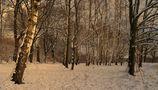 weiße birken von fred 1199