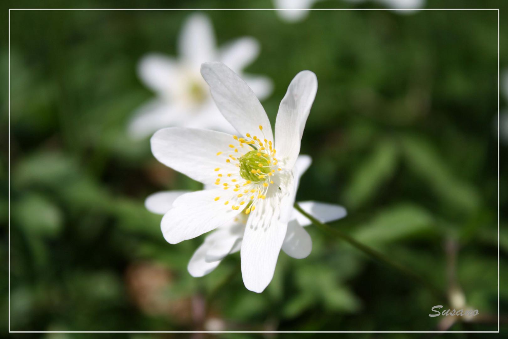 Weisse Blüte