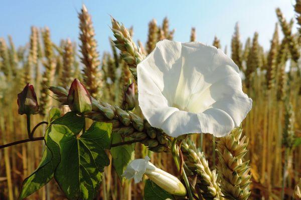 Weiße Blüte im Kornfeld ( 14.07.13 )