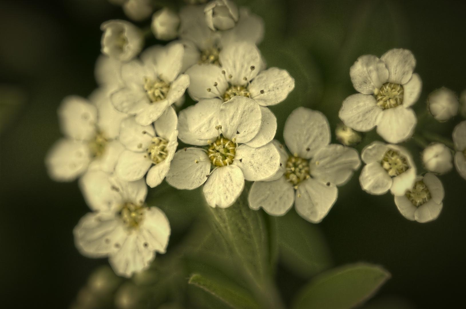 Weiße Blüten HDR