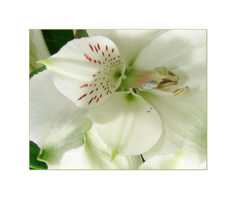 weisse Blüten - ich liebe sie