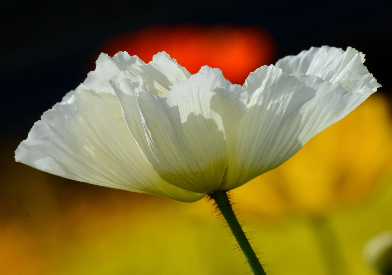 Weiße Blume im Frühjahr