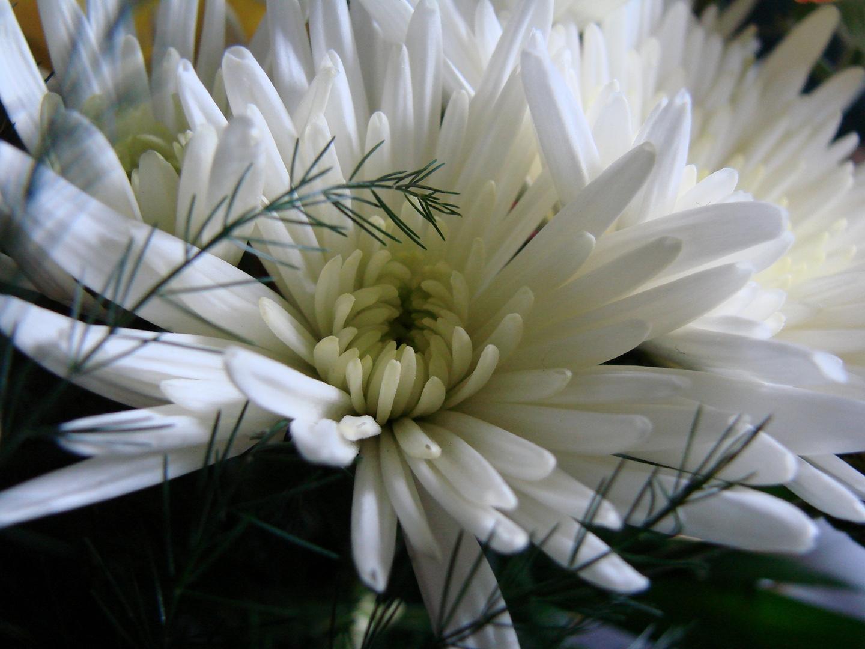 weiße Chrisantheme