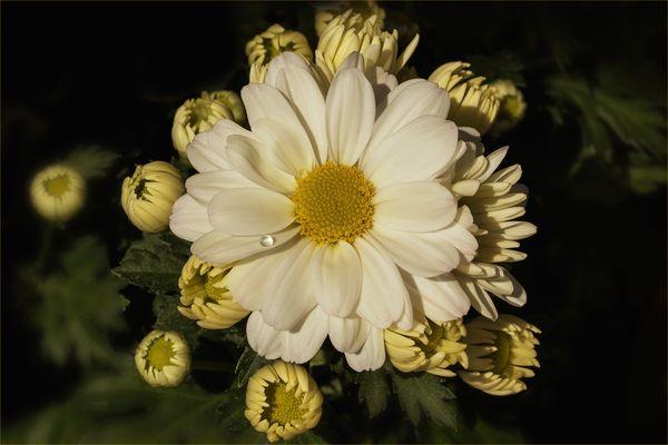 Weiße Chrysanthemen...