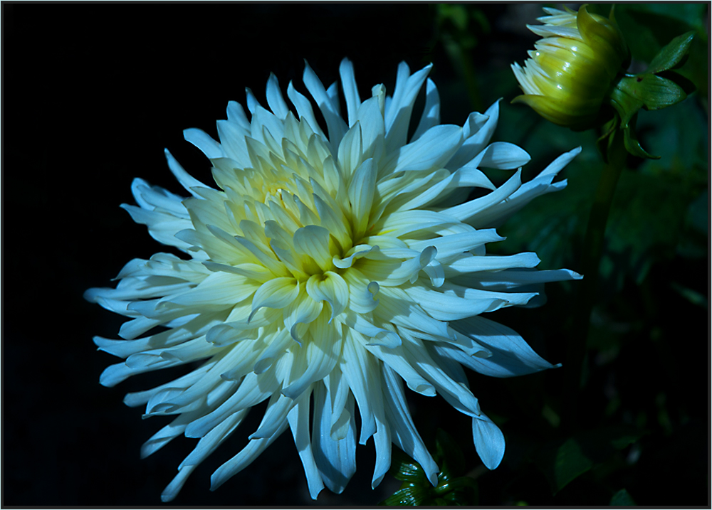 weisse chrysanthemen leuchten auch bei nacht foto bild pflanzen pilze flechten. Black Bedroom Furniture Sets. Home Design Ideas