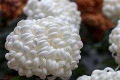 Weisse Deko-Chrysantheme