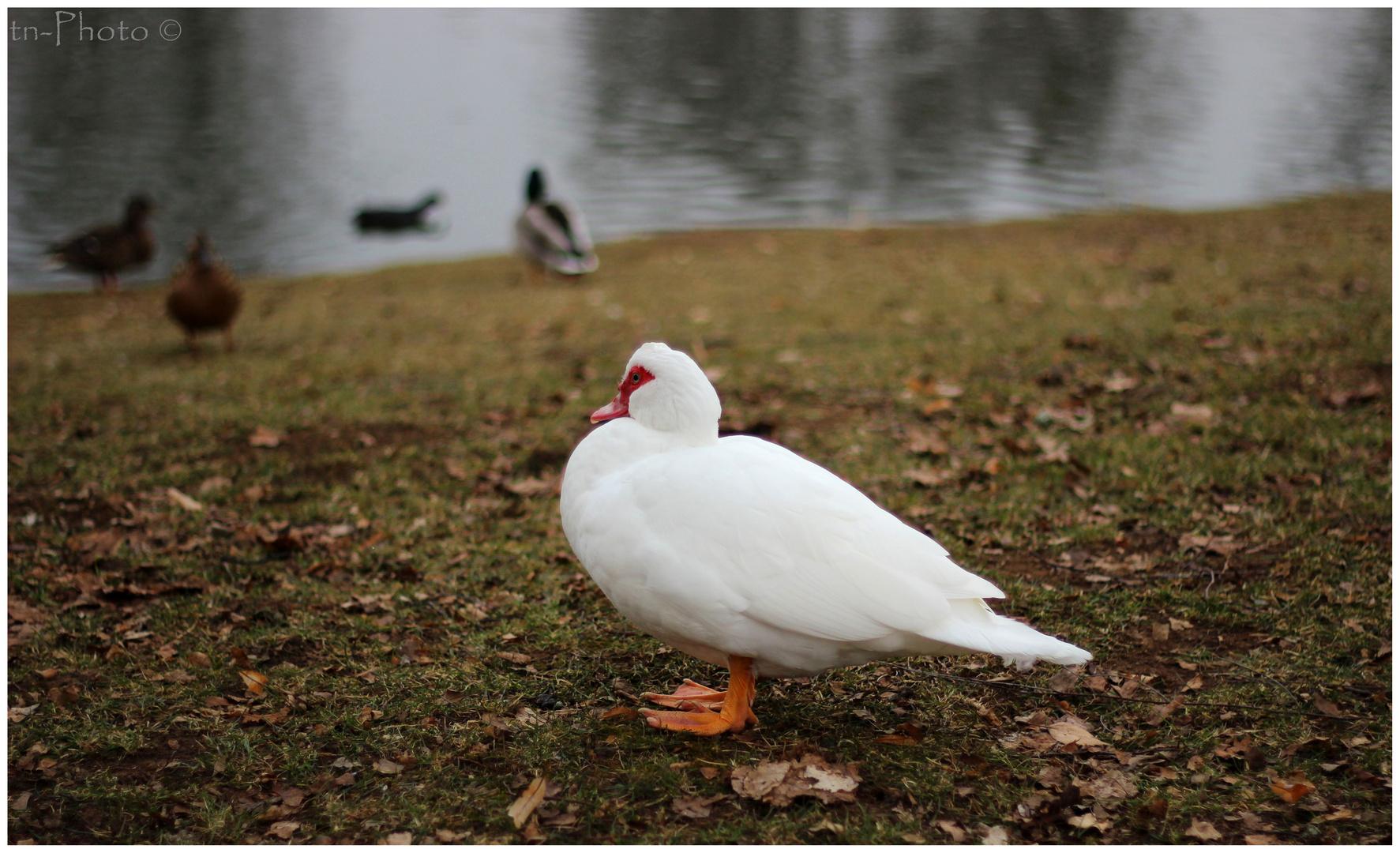 weiße Ente??