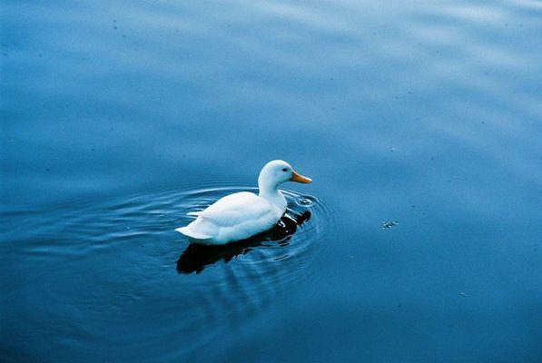 Weisse Ente. Blaues Wasser