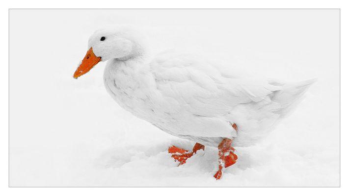 Weisse Ente im Schnee