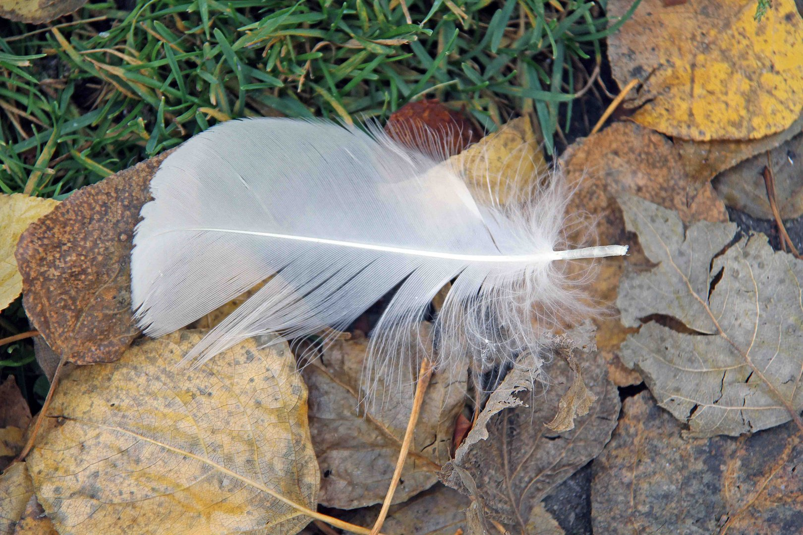 Weisse Feder auf bunten Herbstlaub