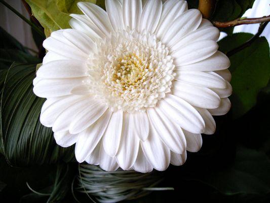 Weiße Gerbera