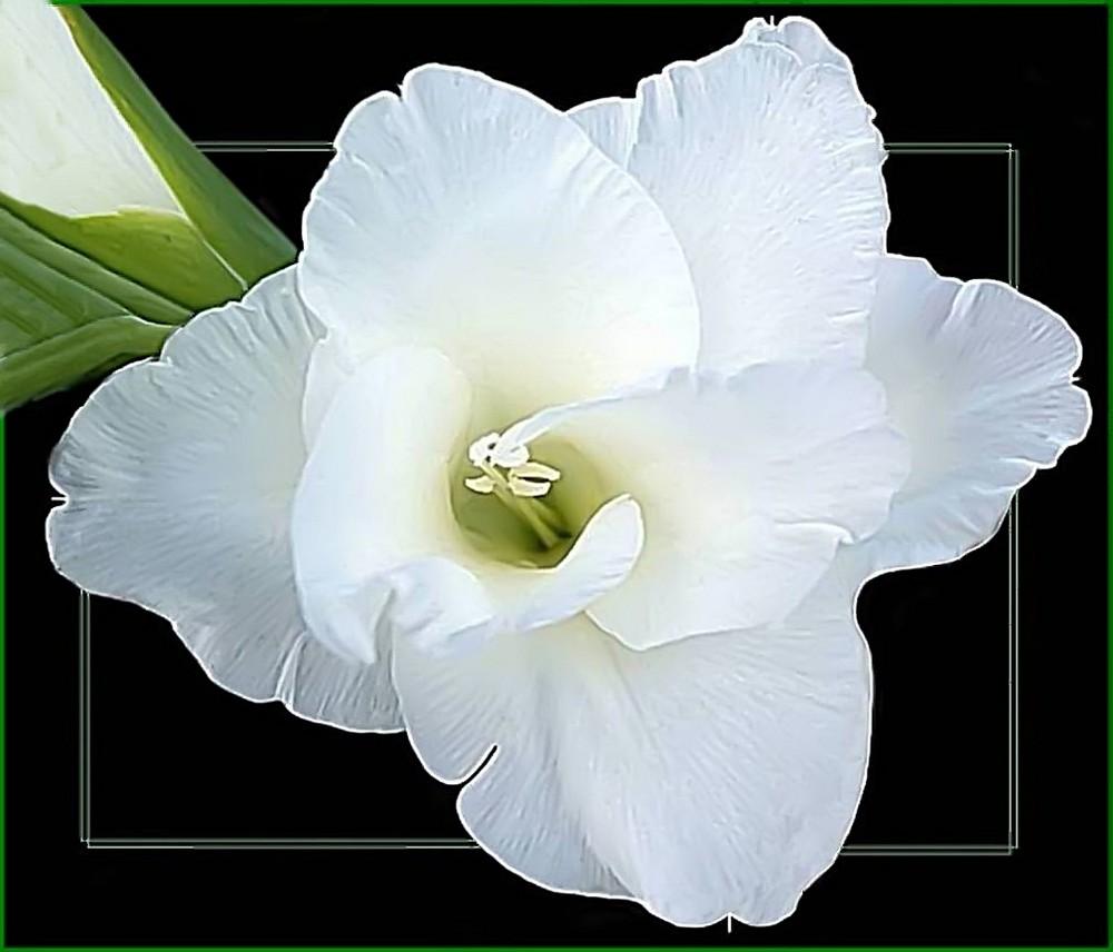 weiße Gladiole