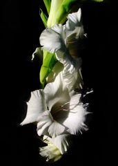 Weiße Gladiole im Halbschatten