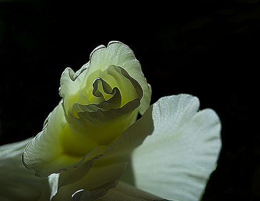 Weiße Gladiole in der Nacht