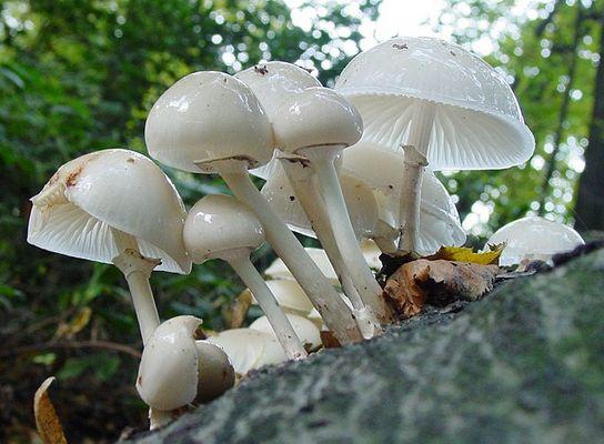 weiße glänzende Pilze