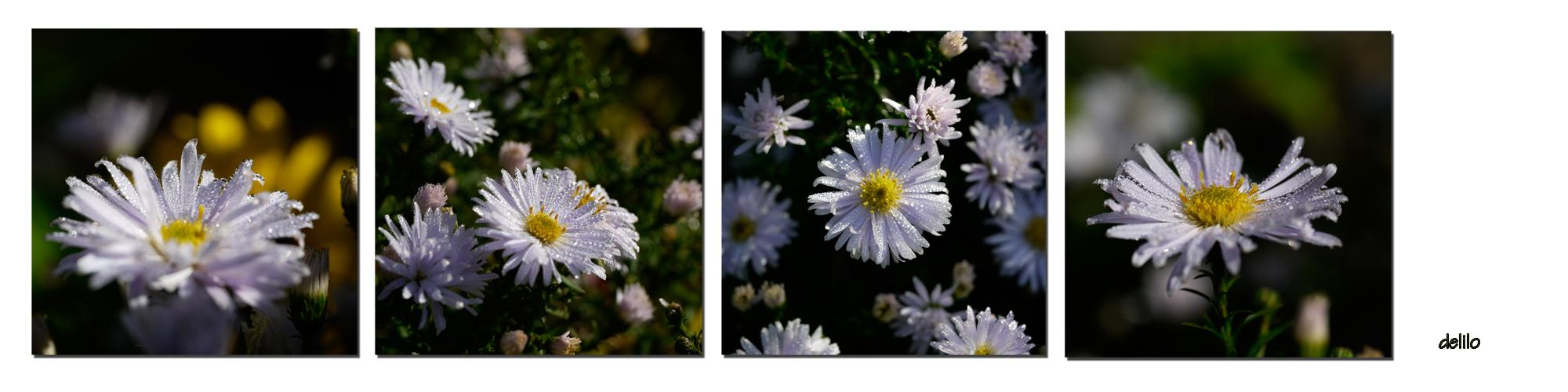 weiße Herbstaster