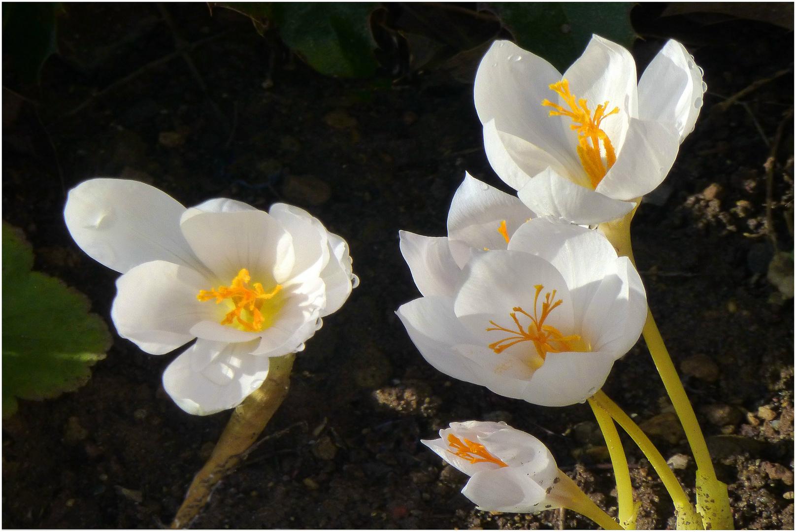 Weiße Herbstkrokusse
