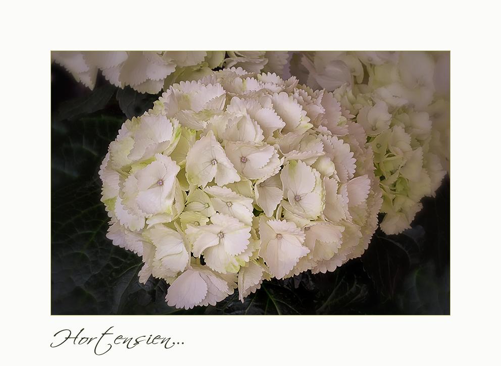 Weiße Hortensien....