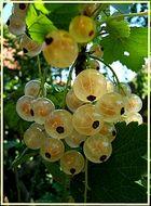 Weiße Johannisbeere