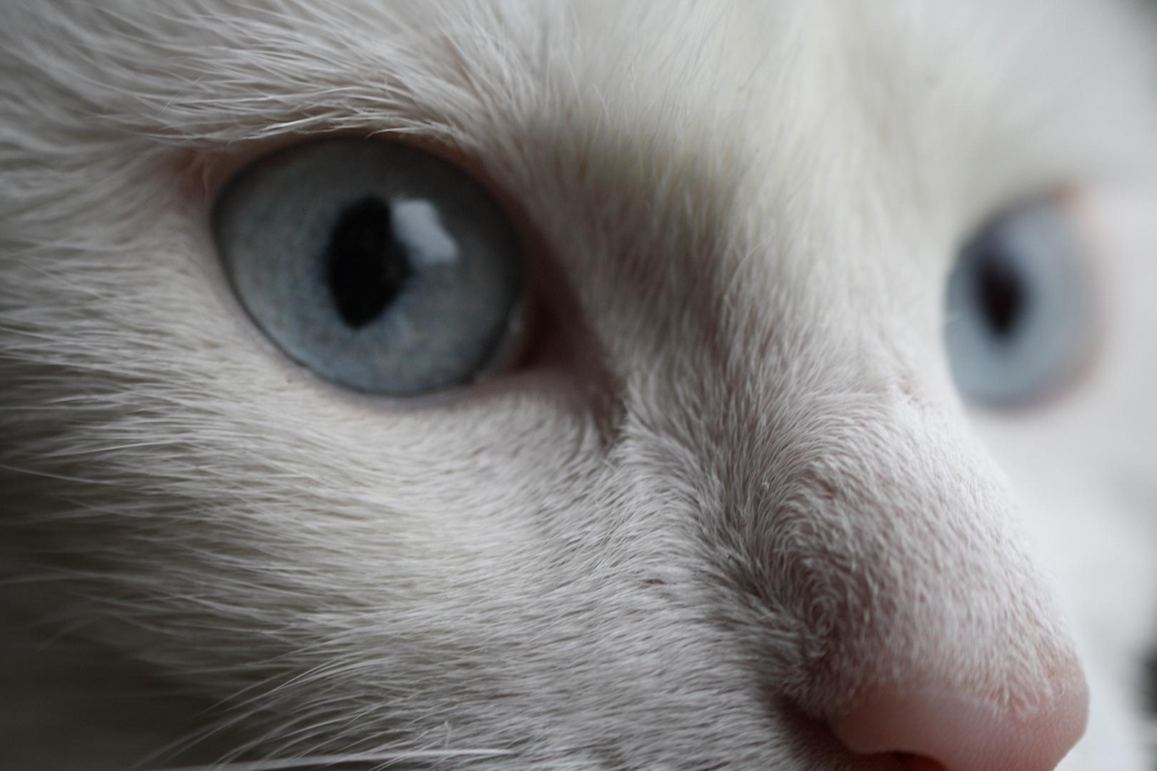 Weiße Katze mit Blauen Augen