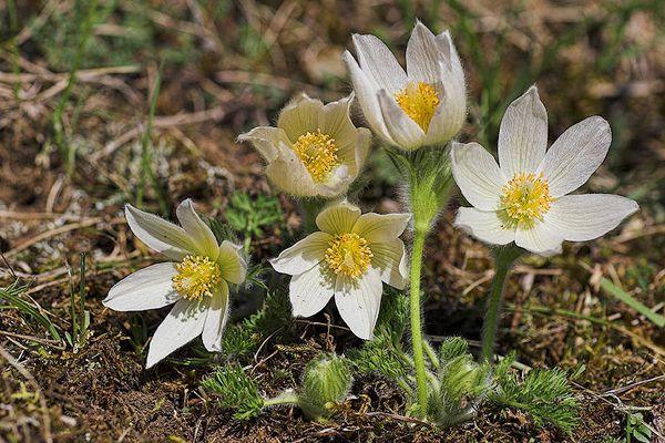 """Weiße Küchenschelle (Pulsatilla vulgaris """"Alba"""")"""