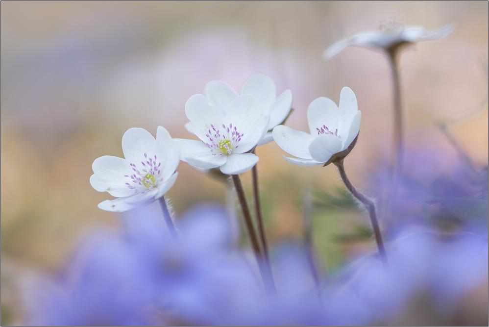 ~ weiße Leberblümchen ~