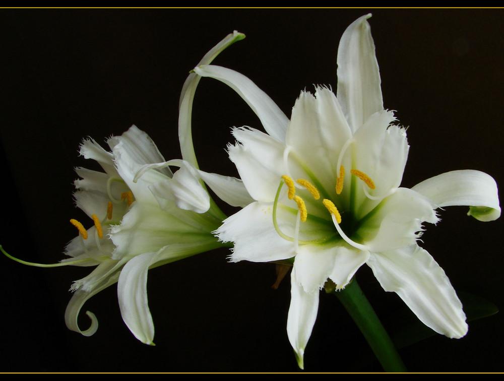 wei e lilie foto bild pflanzen pilze flechten bl ten kleinpflanzen iris und lilien. Black Bedroom Furniture Sets. Home Design Ideas