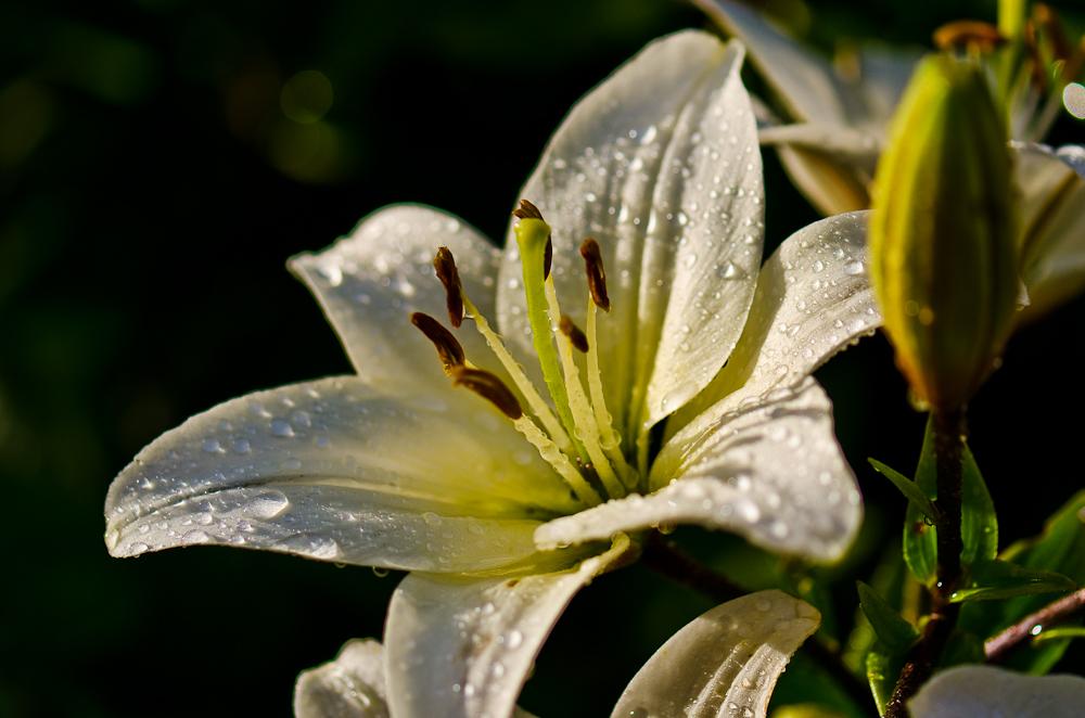 wei e lilie im regen foto bild pflanzen pilze flechten bl ten kleinpflanzen iris. Black Bedroom Furniture Sets. Home Design Ideas