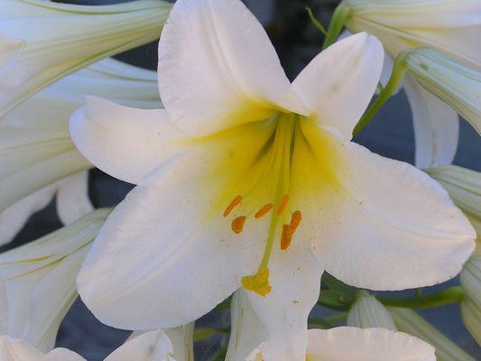 Weiße Lilie oder Madonnenlilie (Lilium candidum)