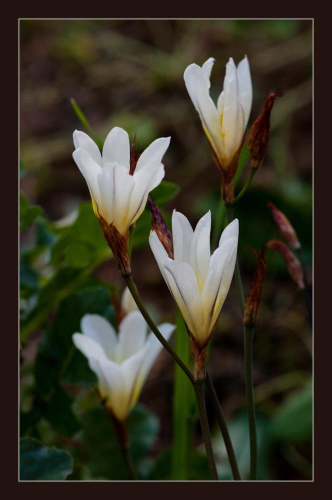 weisse lilien foto bild pflanzen pilze flechten bl ten kleinpflanzen iris und. Black Bedroom Furniture Sets. Home Design Ideas