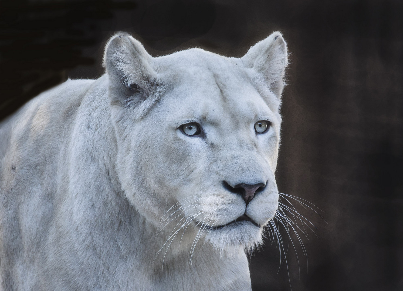 Weisse Löwen Dame